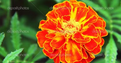 Closeup of French marigold flower (Tagetes patula)
