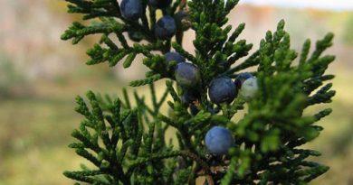 626px-juniperus_virginiana_maine-1