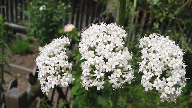 450px-Valeriana_officinalis_(Flower)_1