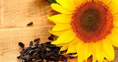 semena-podsolnuha